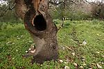 T-120 Oak trees in Tel Alonim