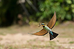 Rainbow Bee-Eaters