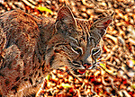 Bobcat bobcats wildcat wildcats camouflage threat threatening snarl angry cat. Photograph by Alan Mahood.