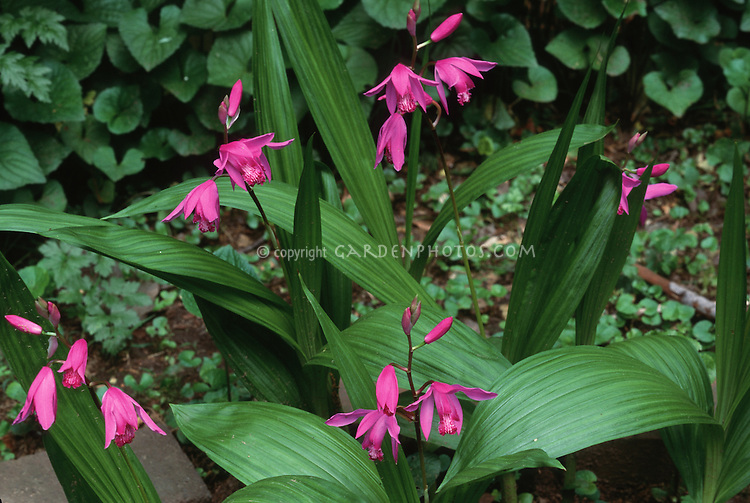Bletilla striata Hardy Orchid growing in garden, in June late spring flowers, pink blooms, plant habit and foliage leaves