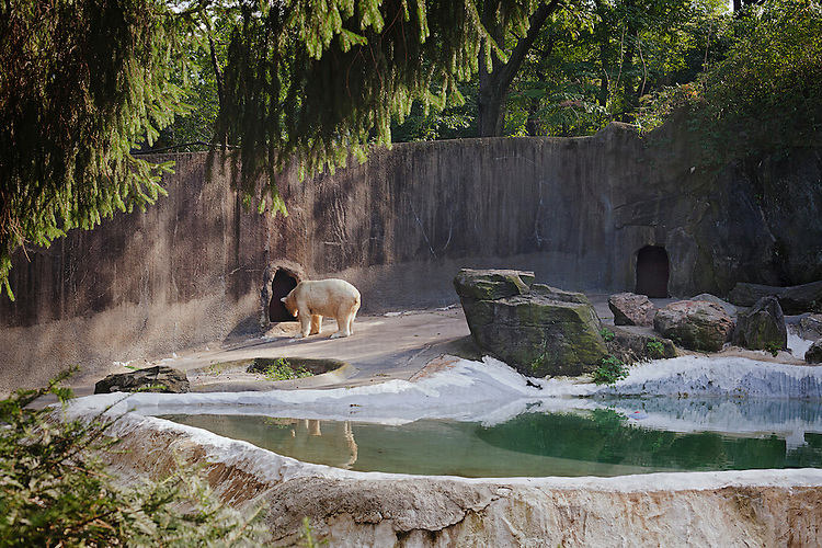 a polar bear under the sun in the bronx zoo