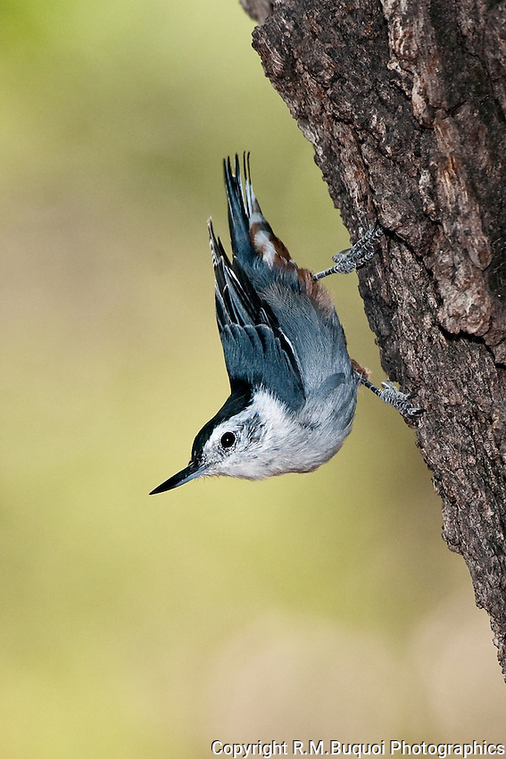 White-breasted Nuthatch clinging to tree