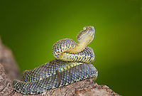 489000006 a captive gray coloration variable bush viper atheris squamigera sits coilded on a limb species is native to the democratic republic of the congo