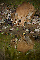 Siberian Lynx looking at its reflection in a pond - CA