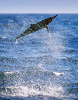 spinner dolphin calf, leaping, Stenella longirostris, Kona, Big Island, Hawaii, Pacific Ocean