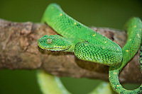 489590005 a captive greenish coloration west african bush viper atheris chlorechis sits coiled on a limb