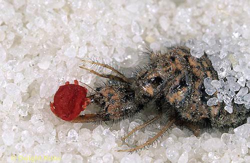 1L53-001a   Antlion larva with prey - mite - Myrmeleon crudelis