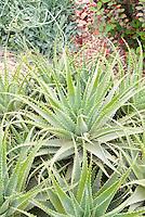 Succulent plant Spider Aloe, Aloe x spinosissima