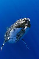 Humpback whale (Megaptera novaeangliae), Hawai'i