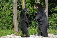 Spectacled Bears standing on hind legs in threat posture (Tremarctos ornatus)
