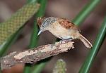 Barred Antshrike, Thamnophilus doliatus nigricristatus, Female, Panama, Central America, Gamboa Reserve, Parque Nacional Soberania, perched on branch