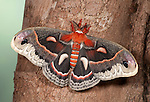 Robin Moth, Hyalophora cecropia, USA, America's largest silkmoth, Saturniidae, wings open