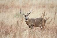 Whitetail deer (Odocoileus virginianus)buck in prairie environment