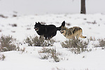 Two wolves from the Druid pack run thru sagebrush in Yellowstone National Park, Wyoming.