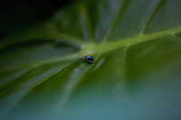 September 7th 2008_HONG KONG_ A small beetle walks across a leaf on a section of the Wilson Trail in the Sai Kung district of Hong Kong.   Photographer: Daniel J. Groshong/Tayo Photo Group