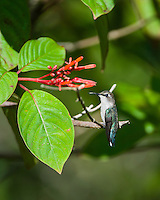 An endemic female Bee Hummingbird (Mellisuga helenae) perched on a Firebush tree (Hamelia patens), showing the characteristic white tips on her retricies. Cuba.