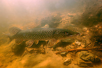 Northern Pike<br /> <br /> Paul Vecsei/ENGBRETSON UNDERWATER PHOTO