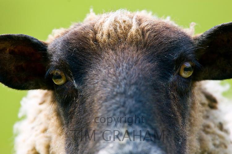 Black-faced sheep, Gloucestershire, United Kingdom