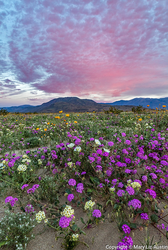 Anza-Borrego Desert State Park: Pink sunrise clouds with a field of desert wildflowers featuring dune evening primrose (Oenothera deltoides), desert sand verbena (Abronia villosa) and desert sunflower (Geraea canescens) in Borrego Valley