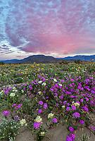 Anza-Borrego Desert State Park: Pink sunrise clouds with a field of desert wildflowers featuring dune evening primrose (Oenothera deltoides), desert sand verbena (Abronia villosa) and desert sunflower (Geraea canescens) in Borrego Valley