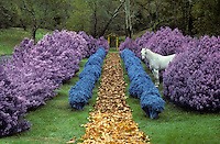 A white horse peers out from a row of artificially coloured bushes