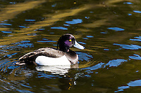 Norway, Stavanger. Male Tufted Duck in Mosvannet lake.