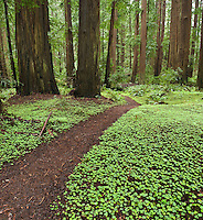 Trail through forest, Humbolt Redwoods state park, California
