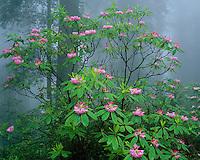 Redwood National Park, CA:  Flowering Pacific rhododendron (R. macrophyllum) in Redwood forest understory in fog - Del Norte Coast Redwoods State Park