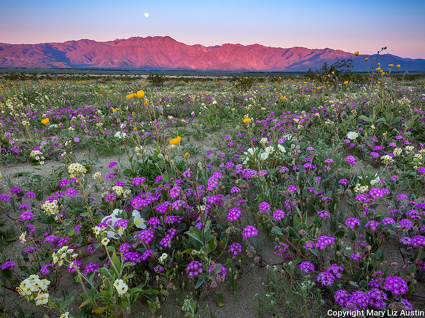 Anza-Borrego Desert State Park, CA:  A field of desert wildflowers featuring dune evening primrose (Oenothera deltoides), desert sand verbena (Abronia villosa), brown-eyed primrose (Camissonia claviformis) and desert sunflower (Geraea canescens) in Borrego Valley at sunrise with moonset