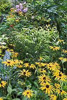 Rudbeckia fulgida var. sullivantii Goldsturm, Hakonechloa Allgold, Phlox, kale vegetable, late summer garden wide scene