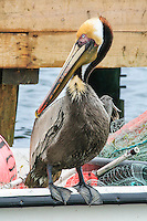 A brown pelican looking for a handout on a Ocracoke fishing boat.
