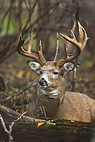 Whitetail buck during the autumn rut in Minnesota