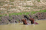 South America, Brazil, Pantanal. A pair of Capybara at a river bank in the Pantanal.