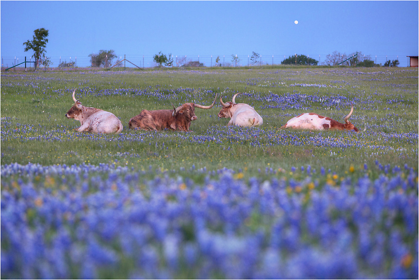 I found these Longhorns in a field of patchy bluebonnets. I had traveled here to find bluebonnet pictures, but was excited to find Longhorns in these wildflowers. It was early morning and the Longhorns looked like they'd had a long night. I returned later in the morning to find them roaming peacefully in the Texas Wildflowers.