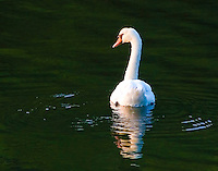 Swan - Cold Spring Harbor
