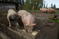 om (right) hogs all the food from his penmate, Spyder, in Edgewood, Washington on April 4, 2015. Farmer Ken Young feeds them a mixture of corn, soybean meal, alfalfa, vitamins, minerals and salt.