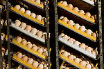 July 24, 2015. Candor, North Carolina.<br />  After arrival, the eggs are quickly put into large incubators, or &quot;setters&quot;. Each setter holds around 87,000 eggs, ranging from 0 days old, to 18.5 days old. The eggs are rotated once an hour to move the more mature eggs around the room, providing CO2 which helps the younger eggs.<br />  Chicken producer Perdue Farms Inc. has become the first major poultry company to attempt to raise more than half of its flock with no antibiotics, human or for animals only. As demand for meats free of medicines has risen, Perdue has upgraded their facilities to increase cleanliness and sterility to allow the company to cut antibiotics out of the chicken hatching process.