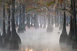A classic swamp scene on a cold foggy morning.