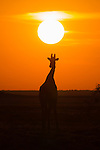 Giraffe (Giraffa camelopardalis) silhouetted against sunset, Etosha national park, Namibia, June 2013