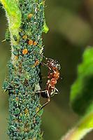 Blutrote Raubameise, Blattlaus-Kolonie, Blattläuse, Symbiose, Blutrote Waldameise, Raubameisen, Waldameisen, Formica sanguinea, Raptiformica sanguinea, blood-red ant, slave-making ant
