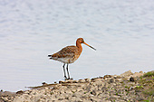 Black Tailed Godwit (Limosa limosa) in Summer Plumage, Resting after feeding. Marshside Lancashire. The Black Tailed Godwit is on the red list of the IUCN.