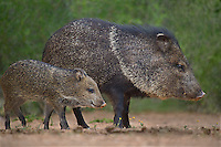 650520329 wild javelinas or collared peccaries dicolytes tajacu forage near a waterhole on santa clara ranch in starr county rio grande valley texas united states