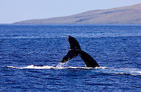 A humpback whale does a fluke up dive off Maui with the island of Lanai in the background.
