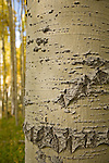 Close-up of Quaking aspen (Populus tremuloides) bark in the Kachina Peak Wilderness