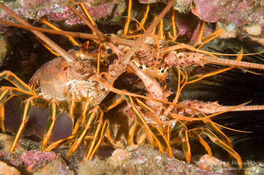 San Clemente Island, Channel Islands, California; three California Rock Lobsters (Panulirus interruptus) cling to the sides of a narrow opening in the rocky reef