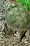 Turtles, Snapping