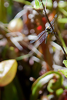 In a cropped close-up view, a dragonfly clutches a branch over the cobra lilies at Darlingtonia Bog.