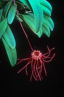Bulbophyllum gracillimum aka Cirrhopetalum gracillimum orchid species