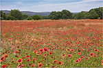 Down a dirt road outside of Llano, Texas, in the Texas Hill Country, amazing colors burst forth every spring. This field Texas Wildflowers - Indian Blankets - spread like a red sea covering the entire area. I could spend all day photographing scenes like this, from the grand vistas to the intimate work with a macro lens.