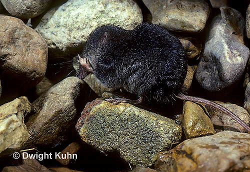 MU40-006z   Water Shrew - cleaning face with legs - Sorex palustris